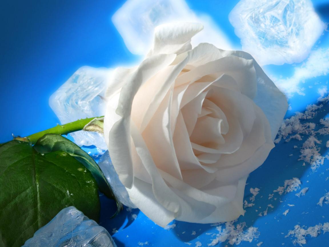 Роза садовые розы выращивание роз